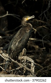 cormorant / Phalacrocorax carbo