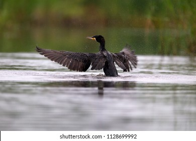 cormorant shakes wings at viewing hut Diependal in Oranje, the Netherlands