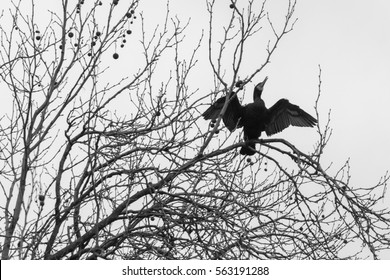 Cormorant Spreading Wings On A Tree Top black and white photography