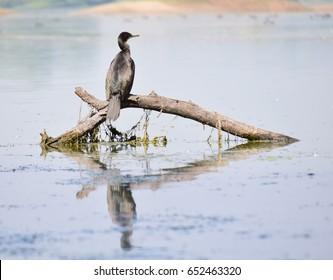 Cormorant Sun Bathing