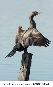 cormorant waterfowl