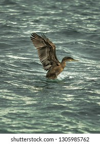 Cormorant With Widespread Wing Starts To Fly Out Of The Water