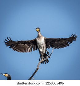 Cormorant in the wildlife- Israel