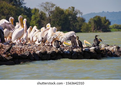 Cormorants and Great white pelican (eastern white pelican, rosy pelican or white pelican) on the coast of lake Tana, largest lake in Ethiopia. Amhara Region, north-western Ethiopian Highlands