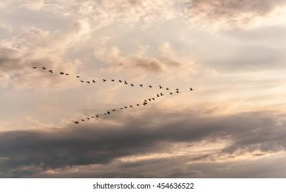 Cormorants leaving for the winter