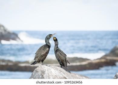 Cormorants on Hornøya in Finnmark, Norway