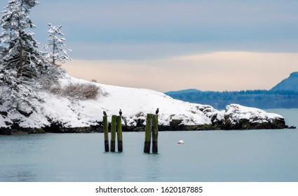 Cormorants Roost on Old Pilings in the Salish Sea Area Of Western Washington.  With Lover's Bluff in the background, a dusting of snow blankets Lummi Island, Washington.