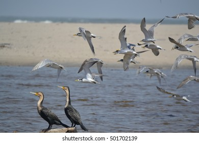 Cormorants and Terns, Skeleton coast