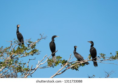Cormorants in tree, Phalacrocorax carbo