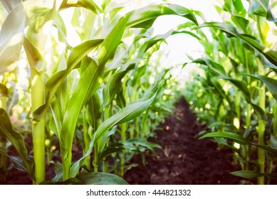Corn agriculture. Green nature. Rural field on farm land  in summer. Plant growth. Farming scene. Outdoor landscape. Organic leaf. Crop season. Sun in the sky.