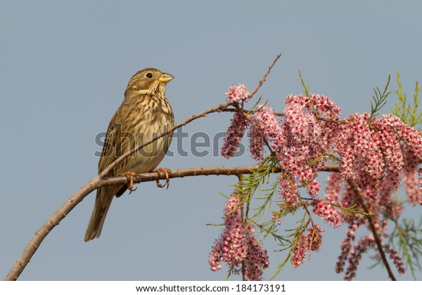 A Corn Bunting (Emberiza calandra) on a blooming tamarisk during springtime