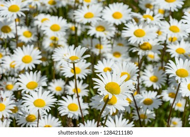 Corn chamomile blossom.  Mayweed bloom. White blooming flowers in natural environment. Scentless chamomile flower. Anthemis arvensis, Asteraceae family.