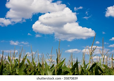 Corn with cloudy blue skye in background