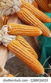 Corn cob at street food