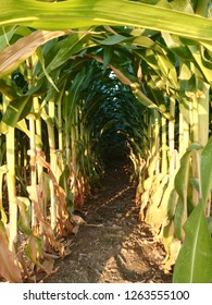 Corn cobs growing. Irrigation agricultural industry. Grain drying under the sun of Spain before being harvested.