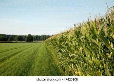 corn cornfield