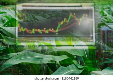 Corn crop field season and computer screen of technical price chart and stock trading. Agricultural and commodities future price, forecast data, market trading concept.