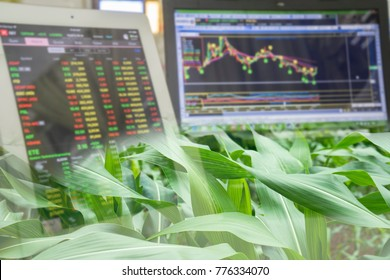 Corn crop field season and computer screen of technical price chat and stock trading. Agricultural and commodities future price market concept.