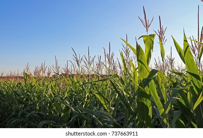 Corn crop with large open space on left for copy. Green, growing, healthy plants