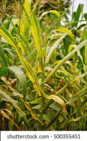 corn disease;downy mildew disease