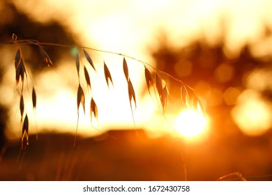 Corn during sunset with golden background