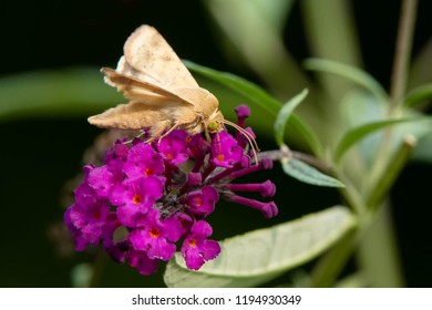 Corn Earworm Moth collecting nectar from a purple Butterfly Bush flower. Also known as a Cotton Bollworm and Tomato Fruitworm. Rosetta McClain Gardens, Toronto, Ontario, Canada.