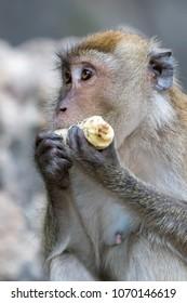 Corn eating Macaque Monkeys in Phuket / Krabi Region of Thailand