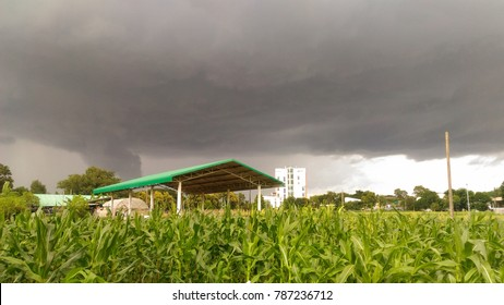Corn in experimental station with gray cloud sky.