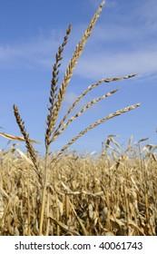 corn in fall season