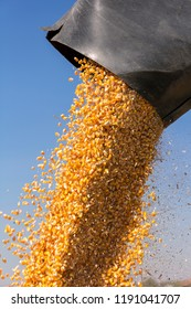 Corn Falling from Combine Harvester Auger into Grain Cart. Unloading Auger in Action. Combine Harvesting Corn and Unloading Grains into Tractor Trailer.
