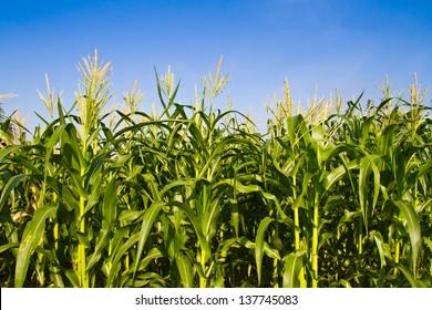 Corn farm against blue sky