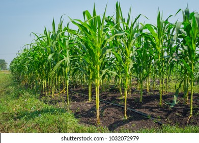 Corn farm concept. Green corn field ,Farm corn organic food.The fresh green corn field with leaves and flowers in the farm of the light blue sky of the sunny day