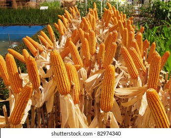 Corn in farm for harvest season , Thailand.