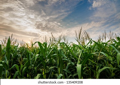 Corn farm and sky in the countryside Thailand