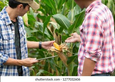 Die Maisbauern und ihre Kunden überprüfen den Ertrag.