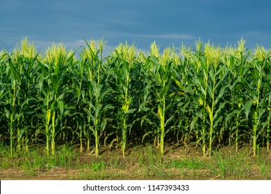 corn field in agricultural garden, pods corn on trunk