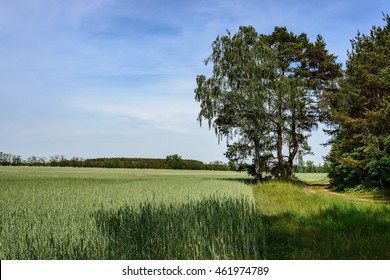 Corn field along the wood at the European Long Distance Path E11 in the Barnim, Germany