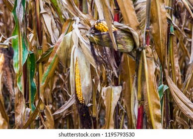 Corn field in autumn in Ukraine