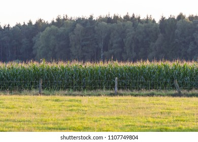 Corn field behind a meadow in the sunshine