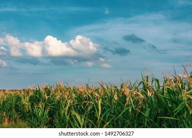 Corn field at blue cloud sky. Location: Germany, North Rhine-Westphalia, Borken