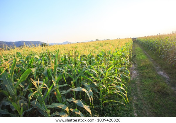 corn field with blue sky.