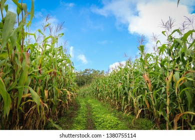 Corn field with blue sky and beautiful clouds