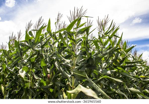 Corn field in Brazil