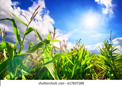 Corn field with the bright sun, blue sky, white clouds and beautiful lens flare