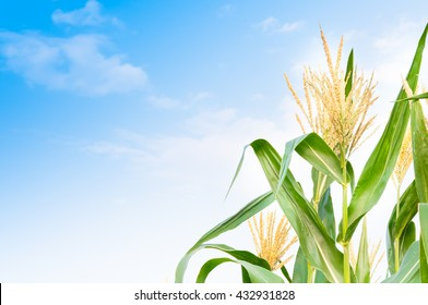 Corn field in clear day, corn tree with blue cloudy Sky