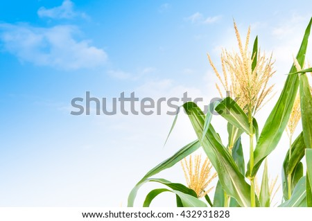 Corn field in clear