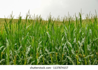 Stormy Corn Field Images, Stock Photos & Vectors   Shutterstock