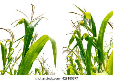 corn field close-up in farm