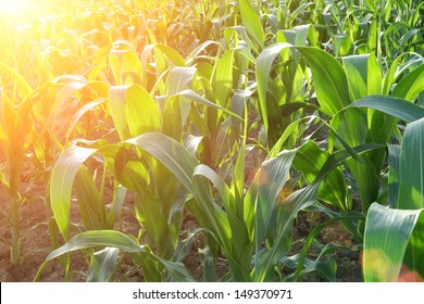 corn field close-up at the sunset