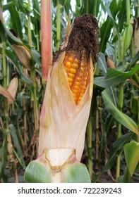 Corn Field. Cob of corn on the field